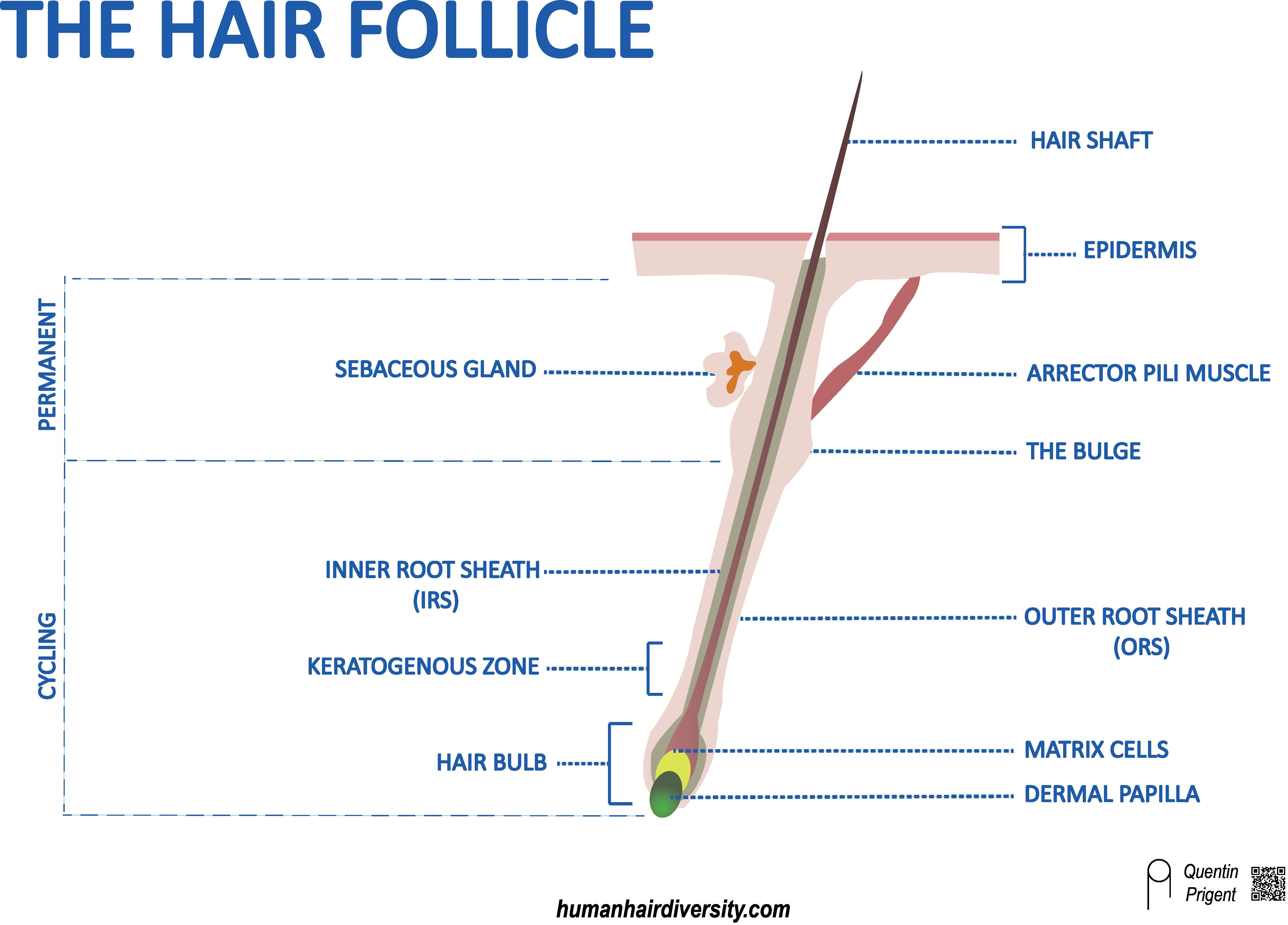 hair-follicle