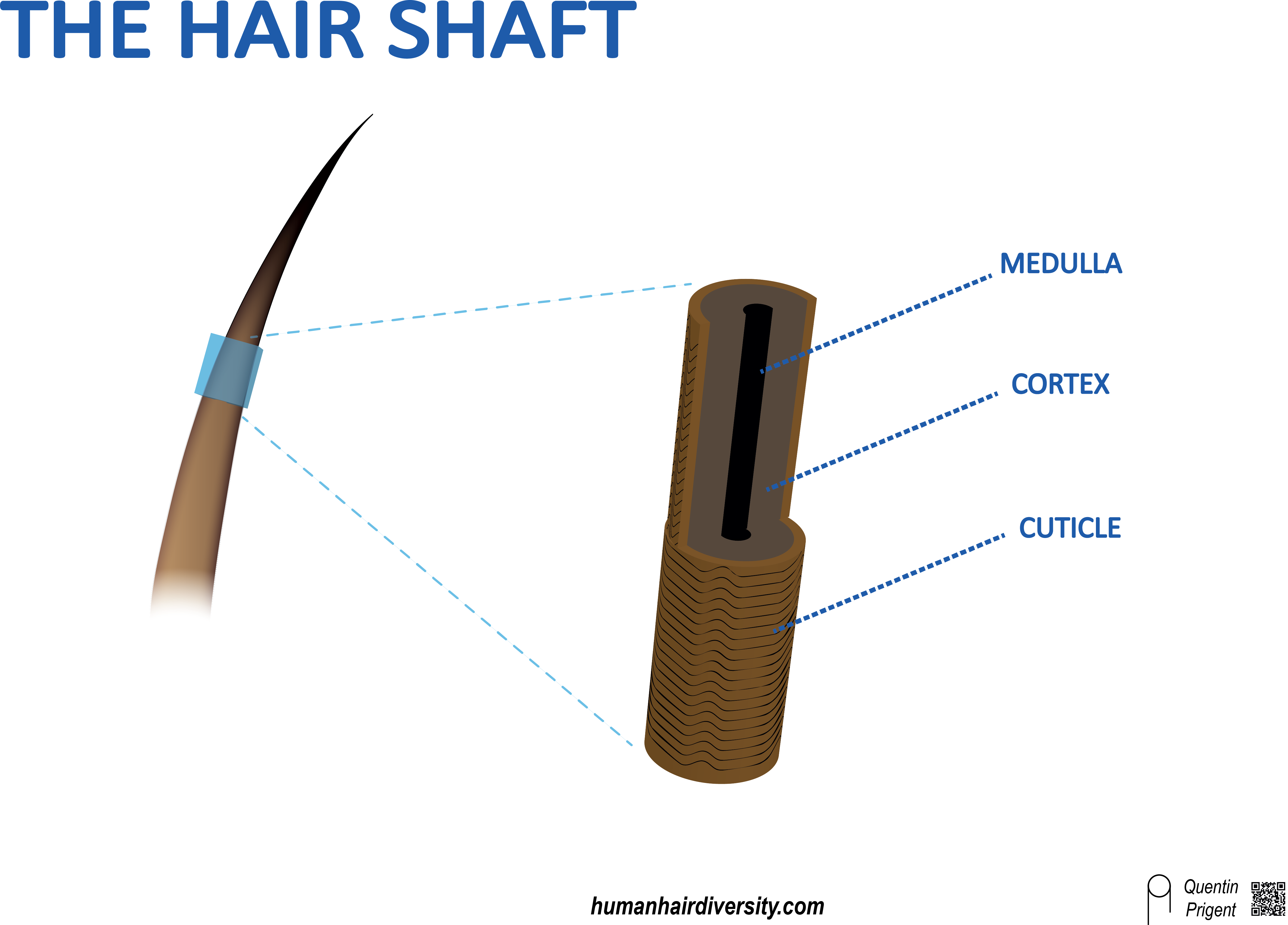 hair-shaft