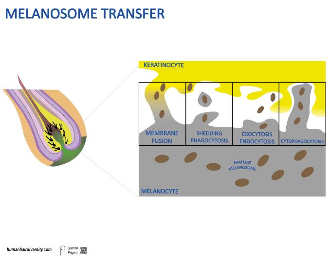 melanosome transfer-04.png