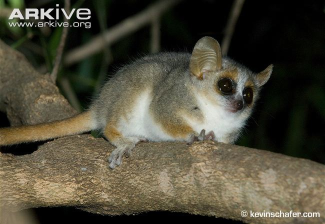 grey-brown-mouse-lemur