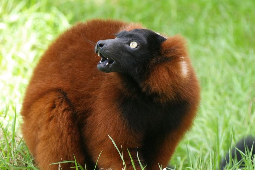 Kat-Garland-Red-Ruffed-Lemur-1.jpg