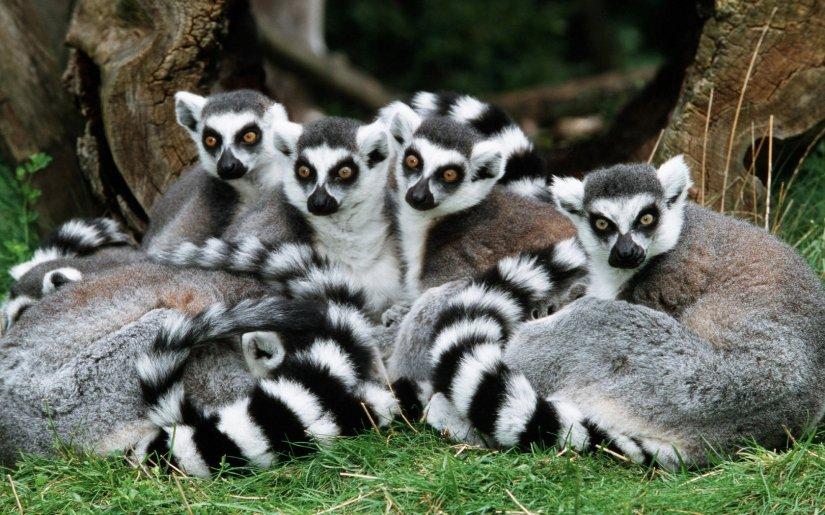 Katta - Gruppelemur katta ring-tailed lemur