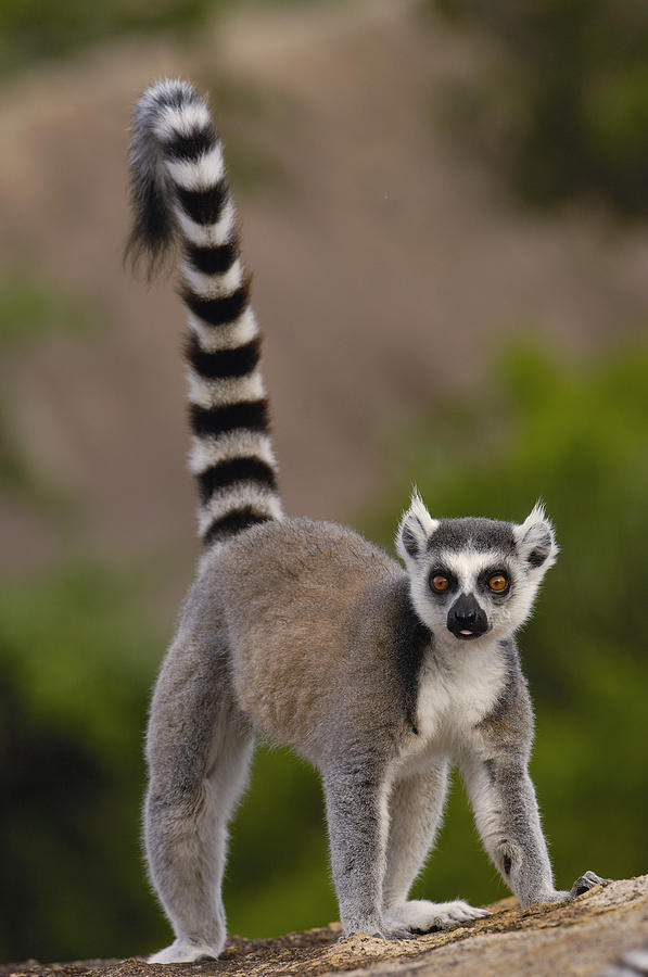 ring-tailed-lemur-lemur-catta-portrait-pete-oxford
